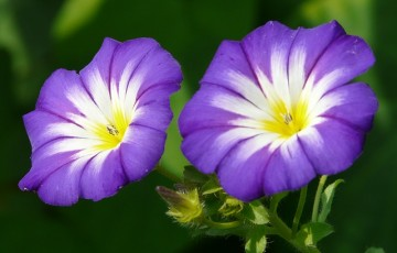 sky-blue-morning-glory-8793_640
